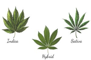 Difference between Indica, Sativa and Hybrid