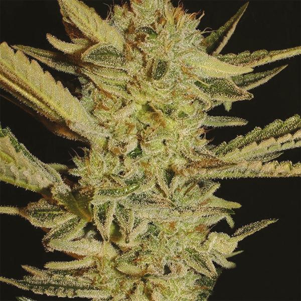 Bubble Gum Marijuana Strain Information