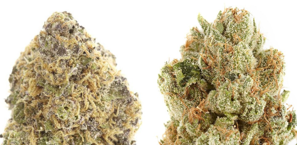 What is difference between indica and sativa?