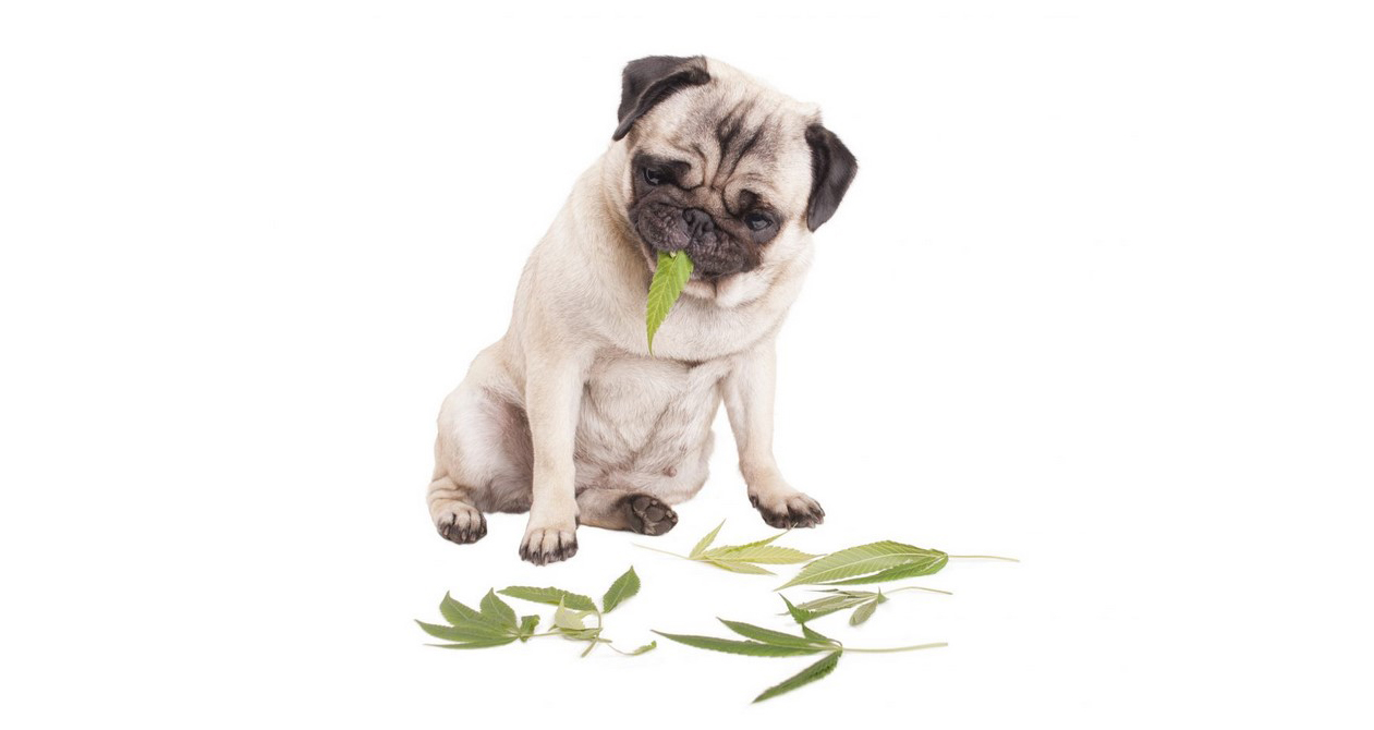 What to do when your dog eats weed?