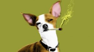 THC Toxicity in Dogs and Cats