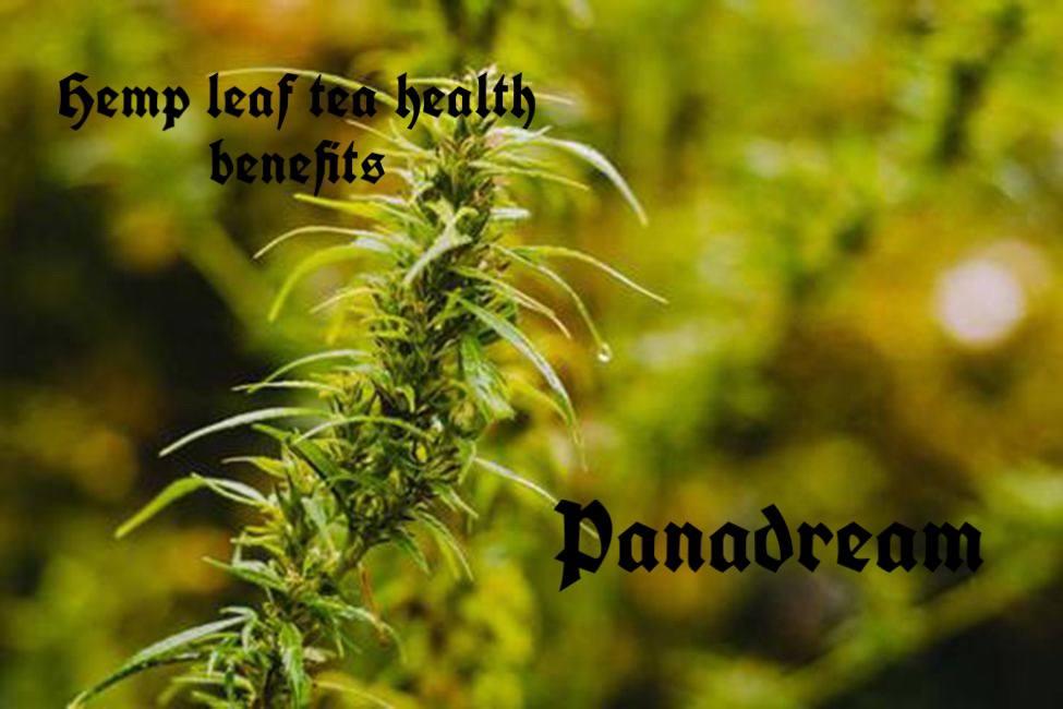 Hemp leaf tea health benefits