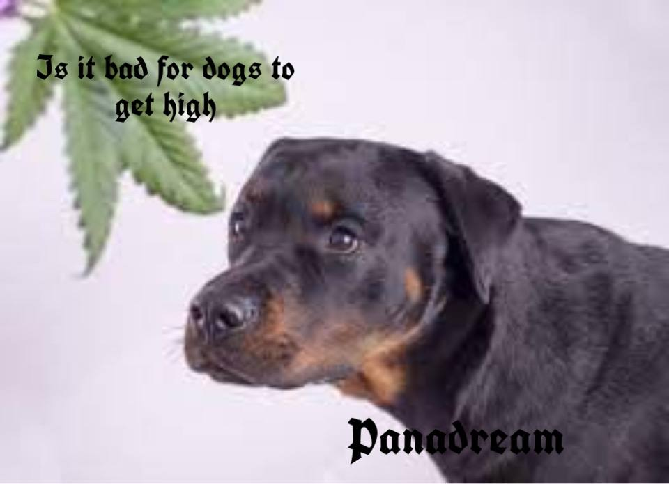 Bad for the dog to get high