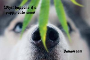 What happens if a puppy eats weed